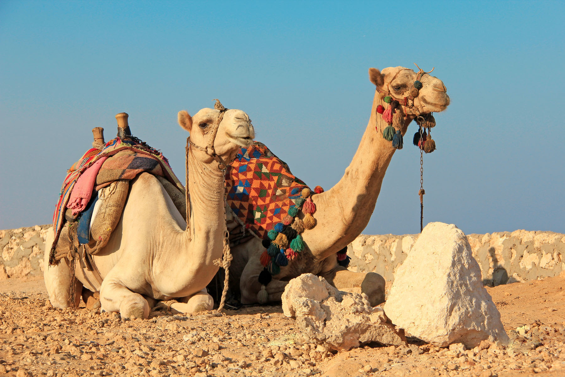 egyptian-camels_65698669
